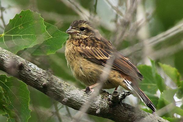 ホオジロ幼鳥-142