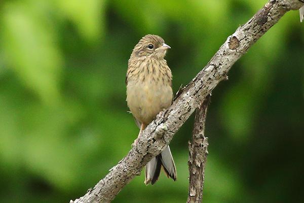 ホオジロ幼鳥-179