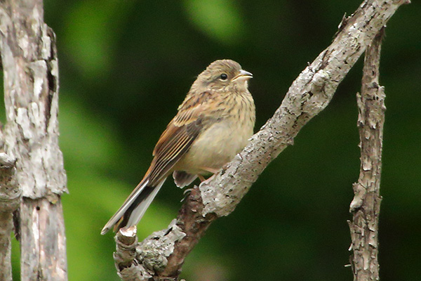 ホオジロ幼鳥-180