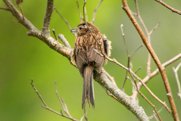 ホオジロ幼鳥*186