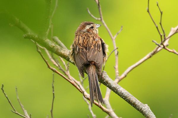 ホオジロ幼鳥-187