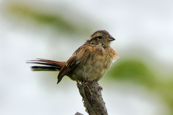 ホオジロ幼鳥-188