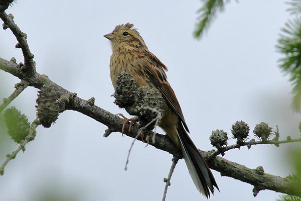 ホオジロ幼鳥-194