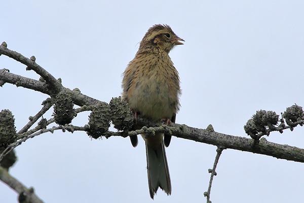 ホオジロ幼鳥--195