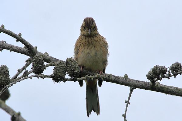 ホオジロ幼鳥--196