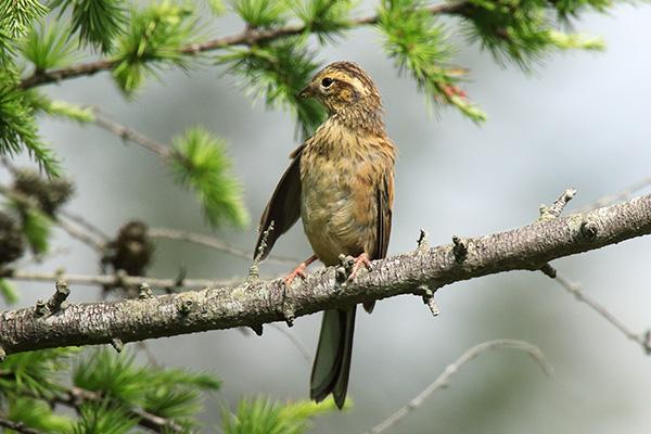 ホオジロの幼鳥-198