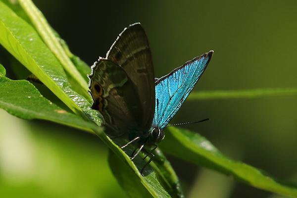 メスアカミドリシジミ-9