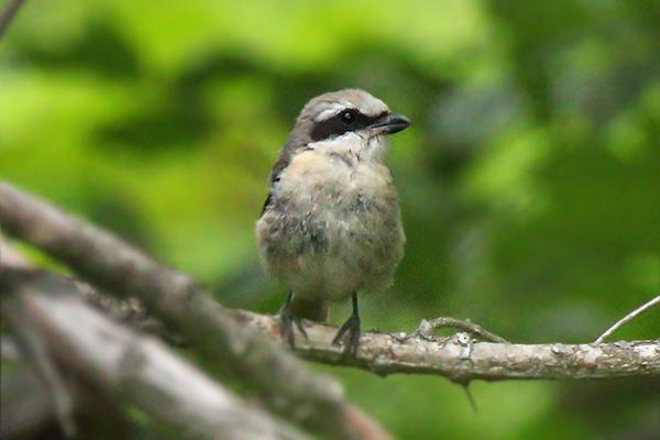 モズの幼鳥-147