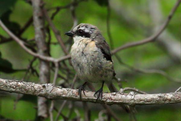 モズの幼鳥-148