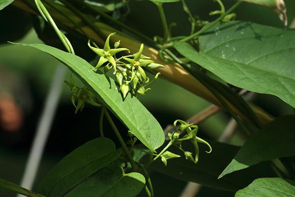 シロバナカモメヅル-2