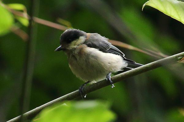 ヤマガラ幼鳥-41