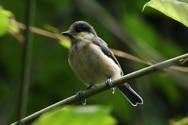 ヤマガラ幼鳥-42