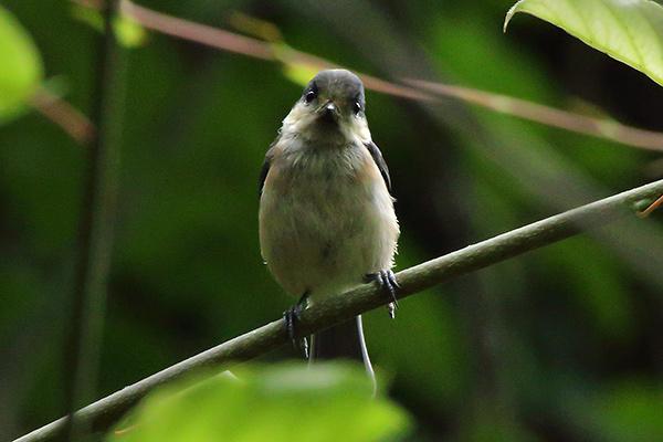 ヤマガラ幼鳥-43