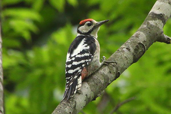 アカゲラ幼鳥-295