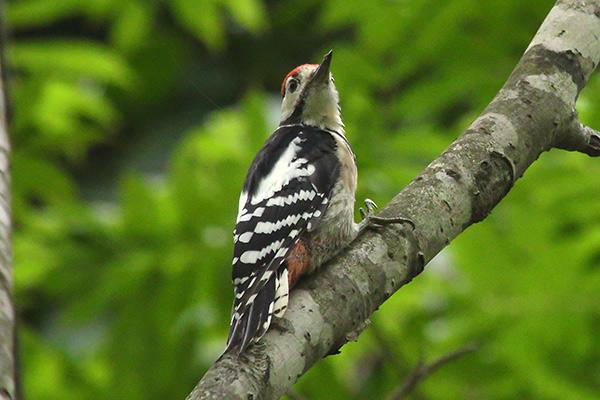 アカゲラ幼鳥-296