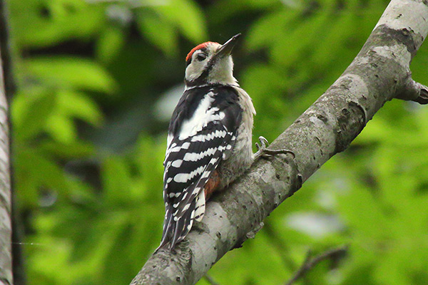 アカゲラ幼鳥-297