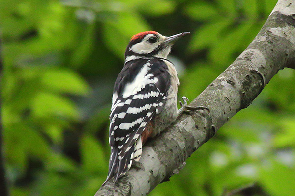アカゲラ幼鳥-298