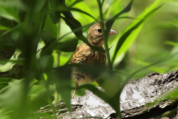アオジの幼鳥-88