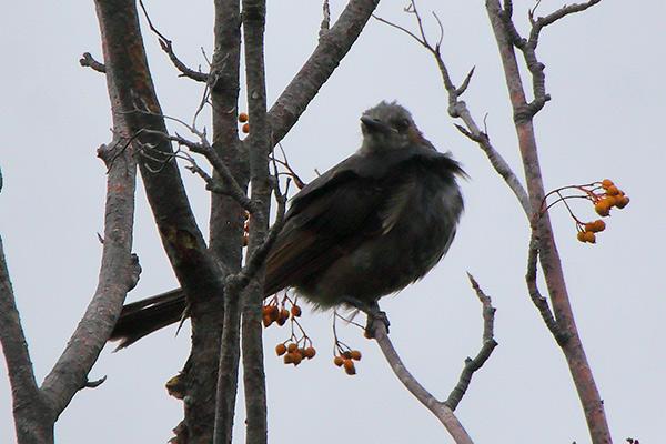 ヒヨドリ幼鳥-19