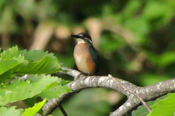 カワセミの幼鳥-24