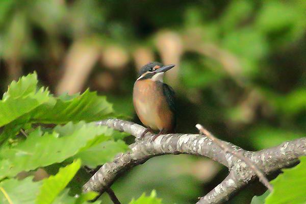 カワセミの幼鳥-25