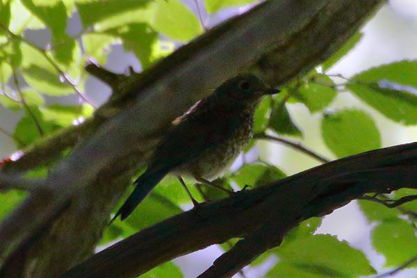 コサメビタキ幼鳥-2