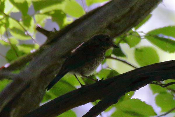 コサメビタキ幼鳥-3