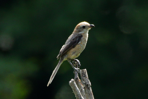 モズ幼鳥-160