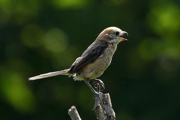 モズの幼鳥-161