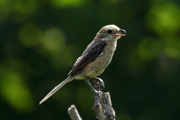 モズの幼鳥-162
