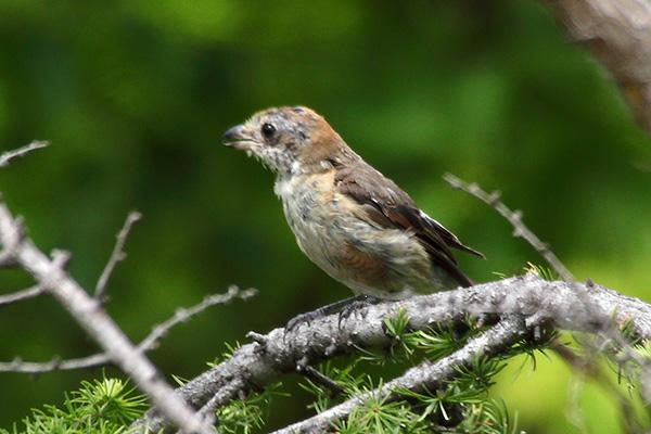 モズの幼鳥-167