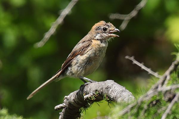 モズの幼鳥-169