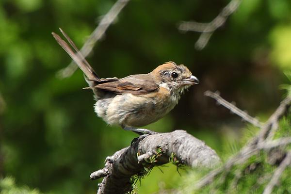 モズの幼鳥-170