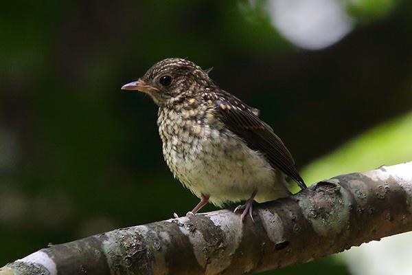 ノビタキの幼鳥-11