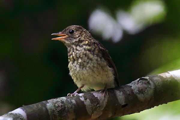 ノビタキの幼鳥-13