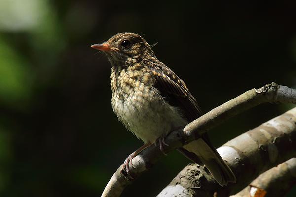 ノビタキの幼鳥-14