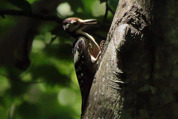 オオアカゲラ幼鳥-107