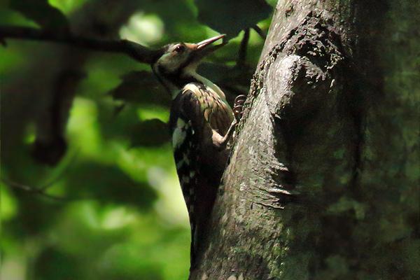 オオアカゲラ幼鳥-108