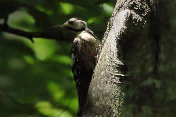 オオアカゲラ幼鳥-110