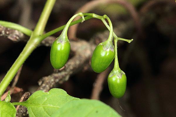 オオマルバノホロシ果実-1