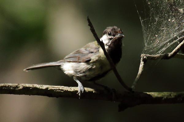 シジュウカラ幼鳥-34