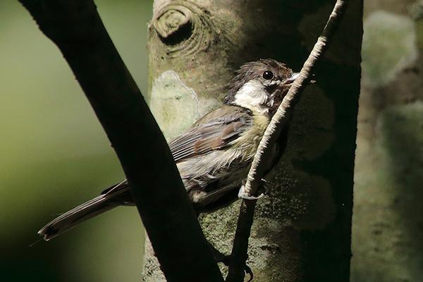 シジュウカラ幼鳥-37