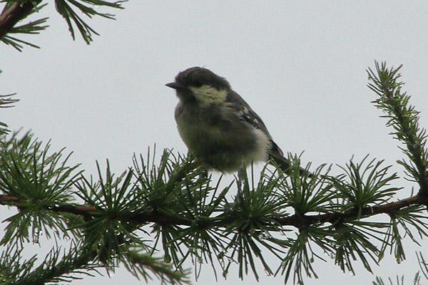 シジュウカラの幼鳥-39