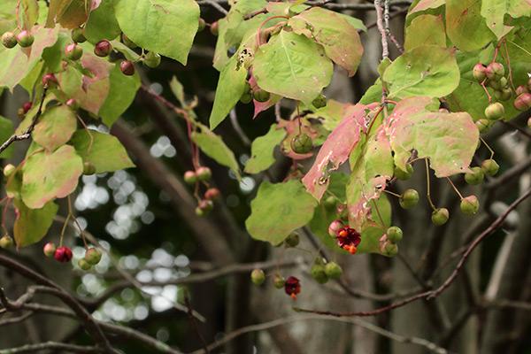 ツリバナの果実-1