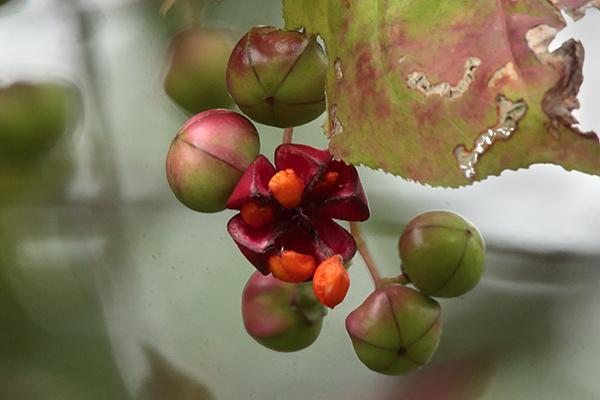ツリバナの果実-2