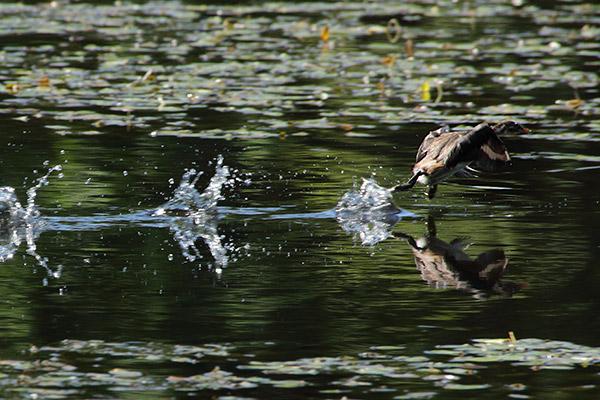 カイツブリ幼鳥-82