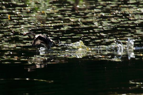 カイツブリ幼鳥-83