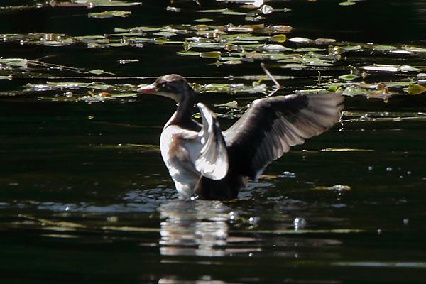 カイツブリ幼鳥-85