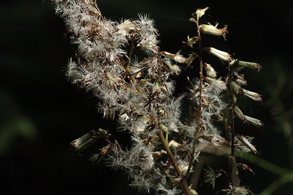 ミミコウモリ花後-2