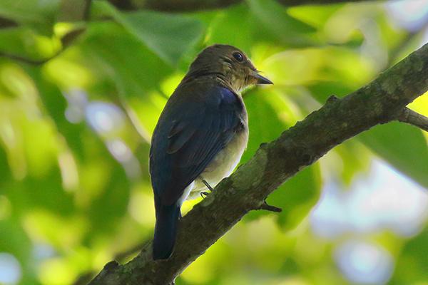 オオルリ幼鳥-28
